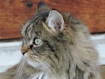 En dagdrömmande katt